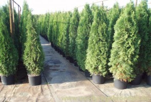 Thuja occidentalis 'Smaragd' 150/175