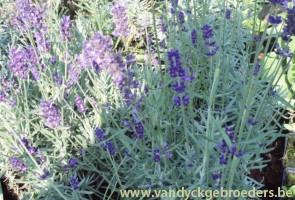 Lavendula angustifolia 'Munstead'