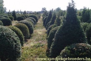Taxus baccata - topiair